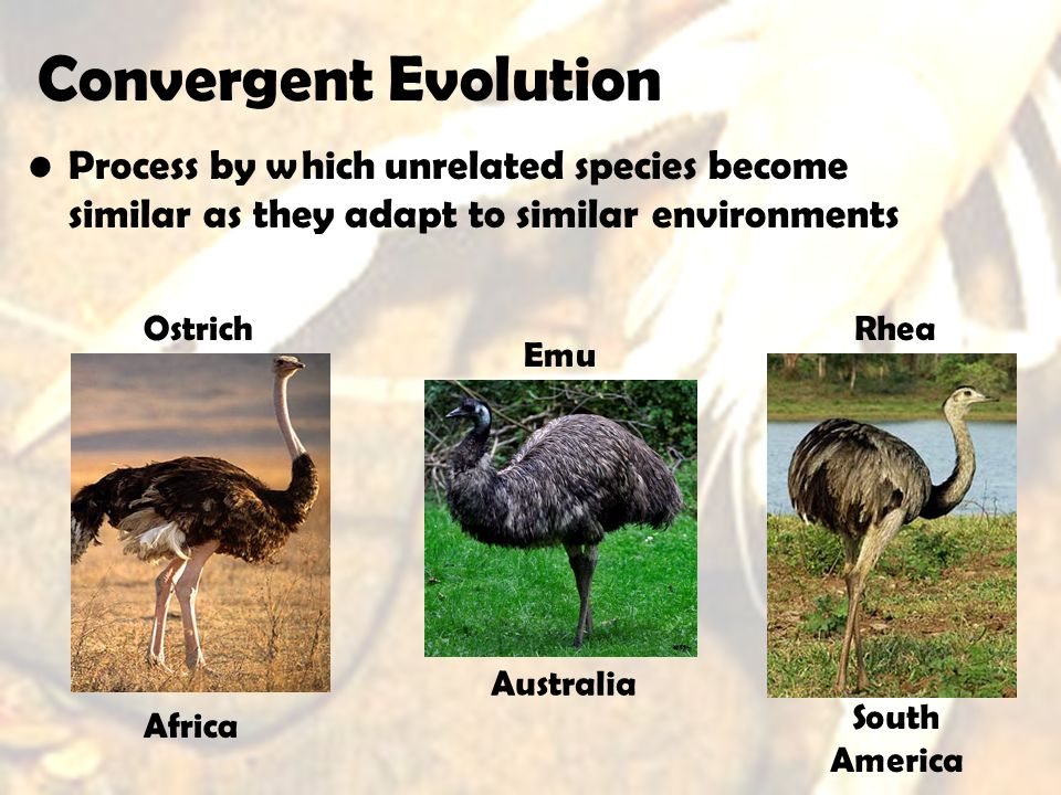 Convergent Evolution Process by which unrelated species become similar as they adapt to similar environments.