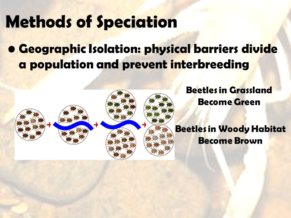 Methods of Speciation Geographic Isolation: physical barriers divide a population and prevent interbreeding.