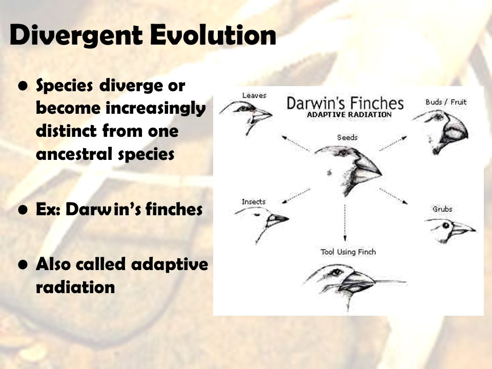 Divergent Evolution Species diverge or become increasingly distinct from one ancestral species. Ex: Darwin's finches.