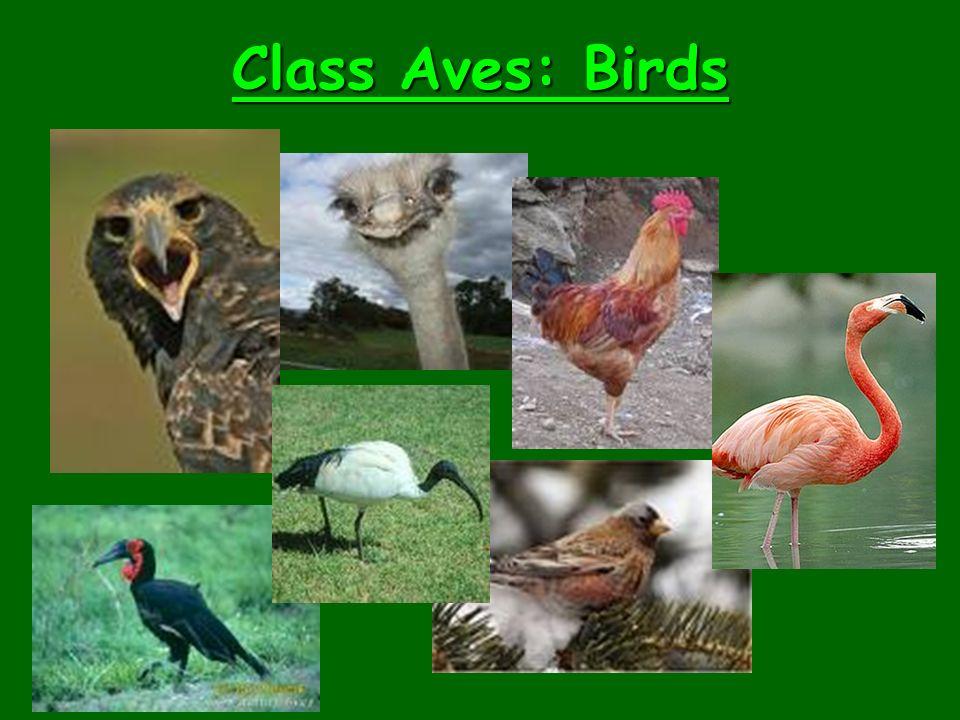 Class Aves: Birds