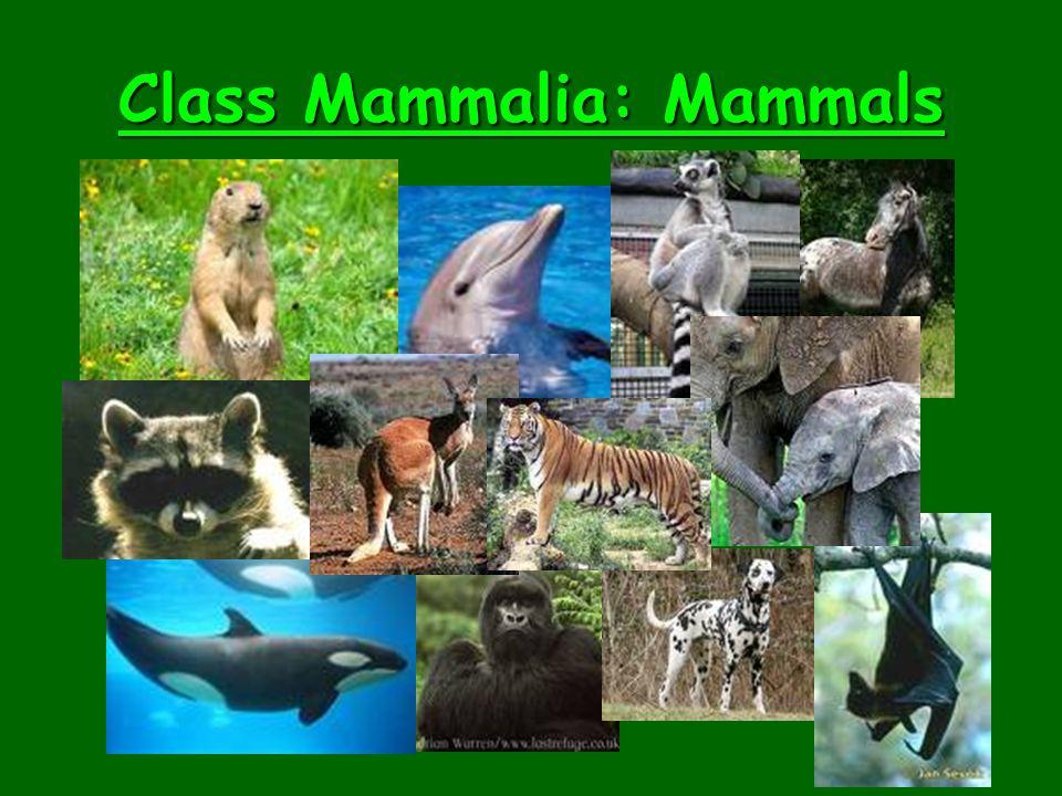 Class Mammalia: Mammals