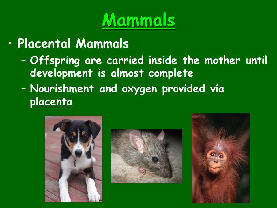 Mammals Placental Mammals
