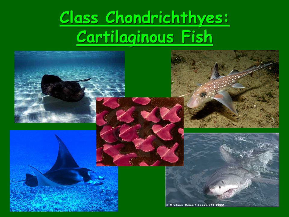 Class Chondrichthyes: Cartilaginous Fish