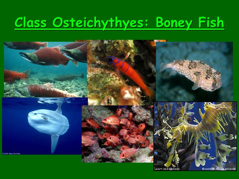 Class Osteichythyes: Boney Fish