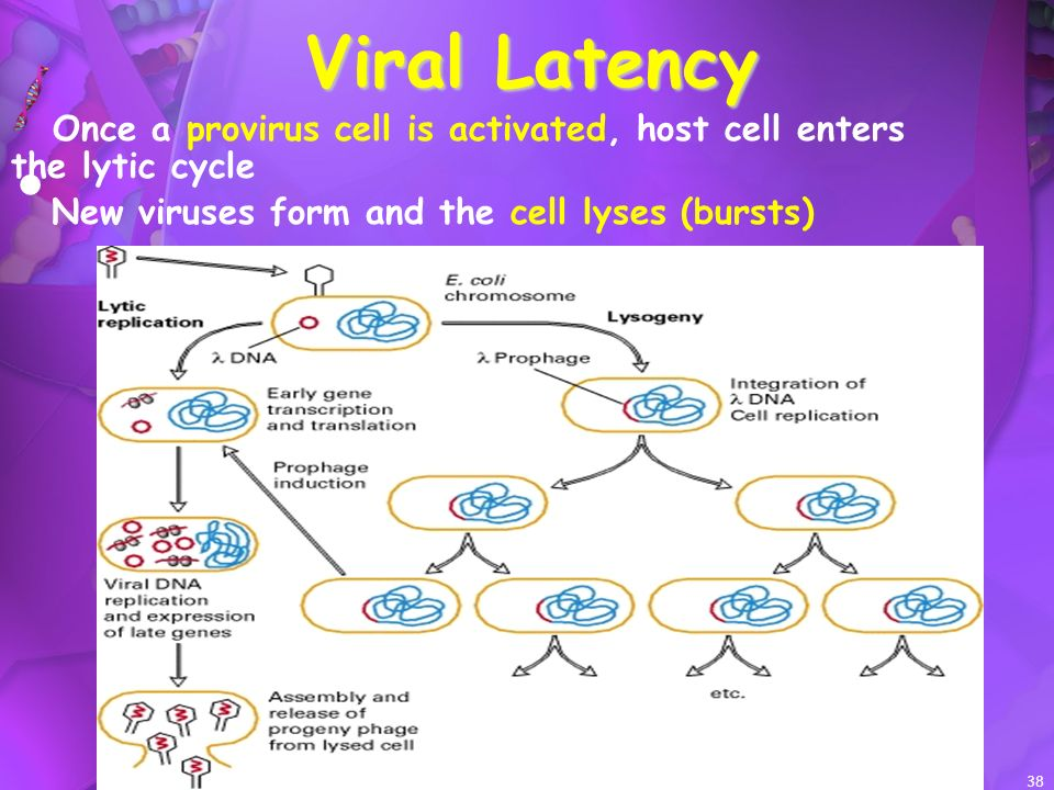 Viral Latency Once a provirus cell is activated, host cell enters the lytic cycle.
