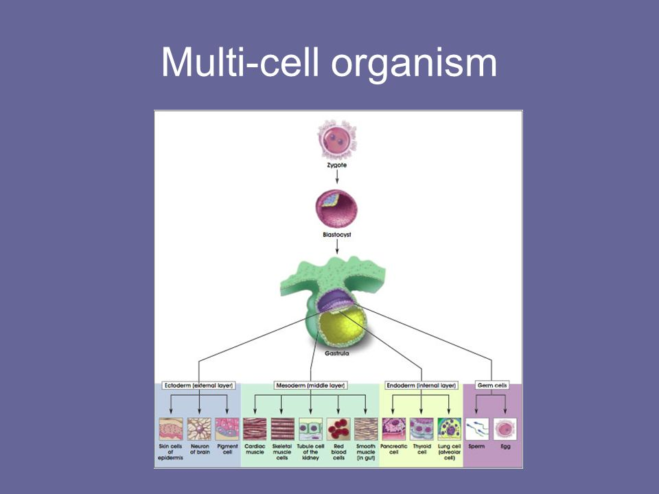 Multi-cell organism