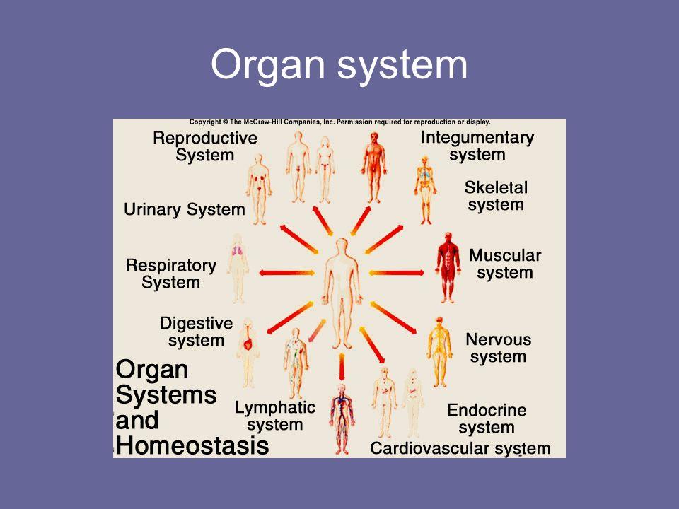 Organ system