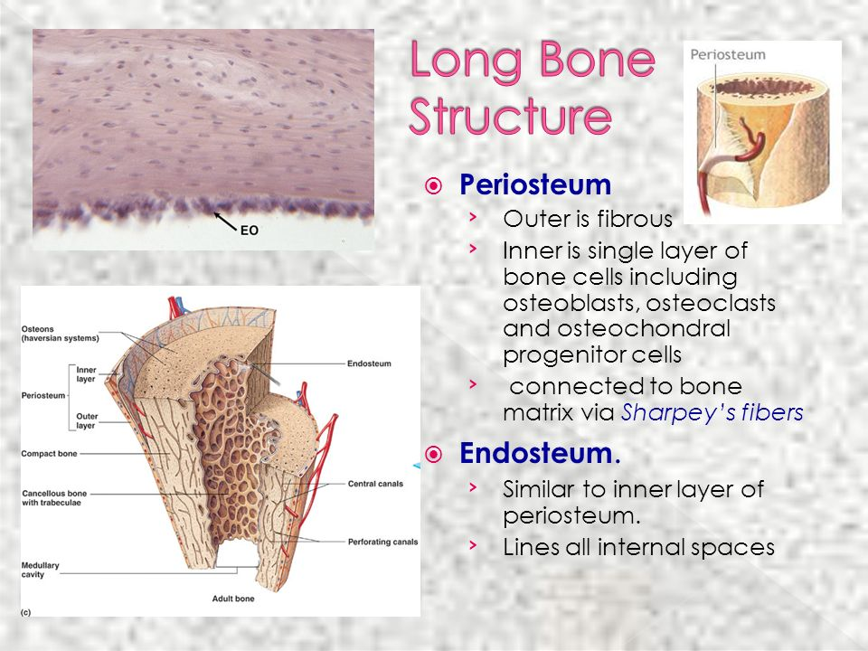 Long Bone Structure Periosteum Endosteum.