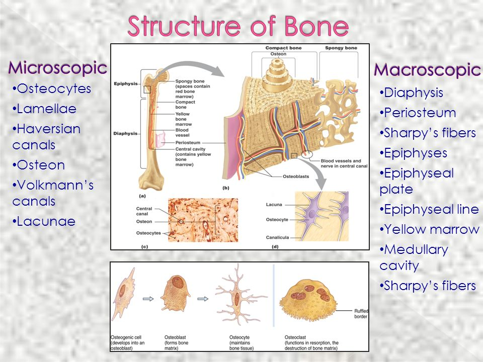 Structure of Bone Microscopic Macroscopic Osteocytes Diaphysis