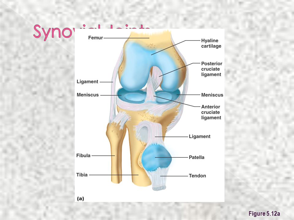 Synovial Joints Figure 5.12a