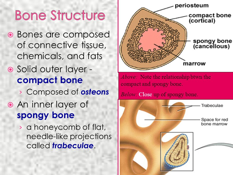 Bone Structure Bones are composed of connective tissue, chemicals, and fats. Solid outer layer - compact bone.