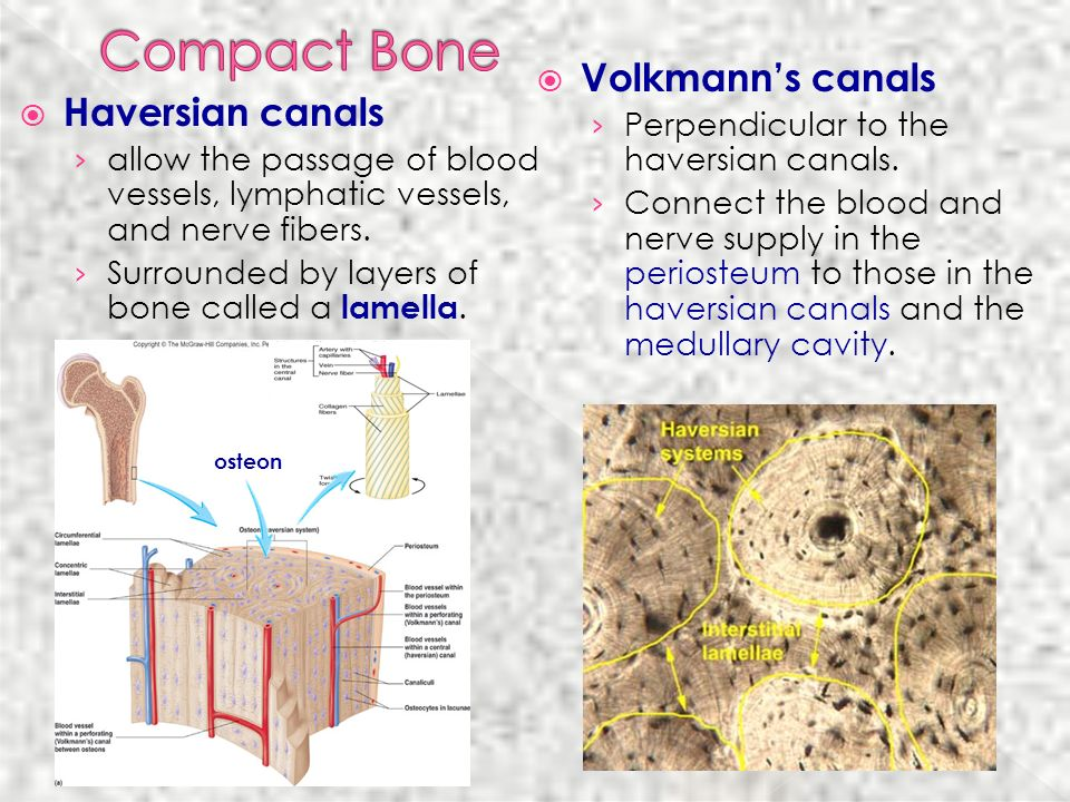 Compact Bone Volkmann's canals Haversian canals