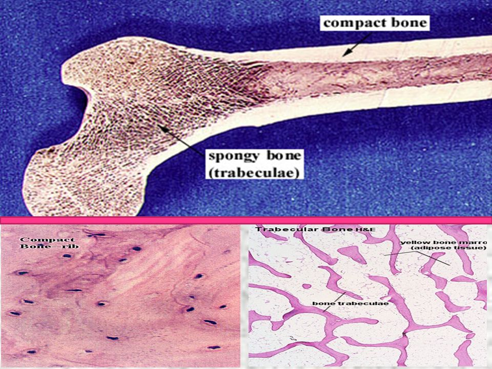 Note the gross differences between the spongy bone and the compact bone in the above photo.