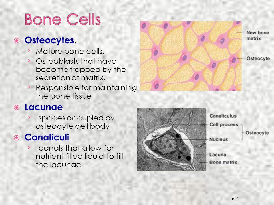 Bone Cells Osteocytes. Lacunae Canaliculi Mature bone cells.