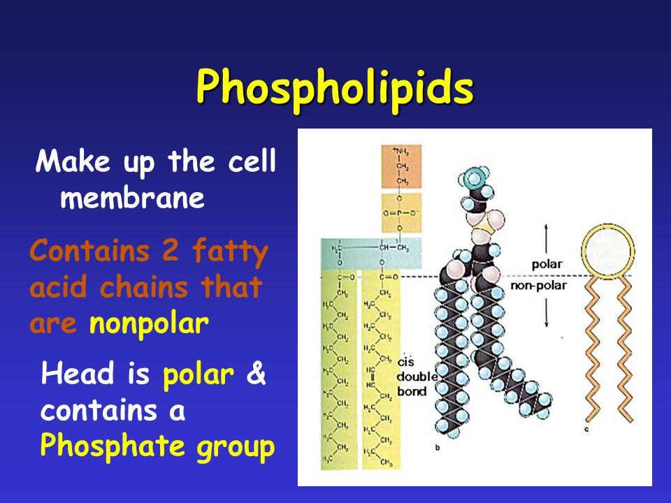 Phospholipids Make up the cell membrane