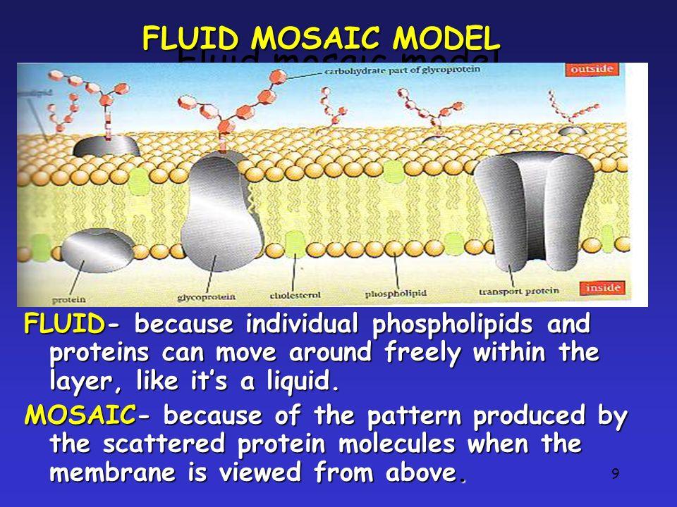 Fluid mosaic model FLUID MOSAIC MODEL