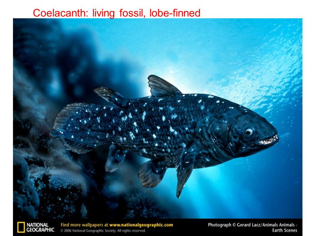 Coelacanth: living fossil, lobe-finned