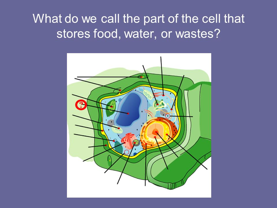 What do we call the part of the cell that stores food, water, or wastes