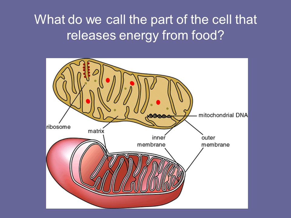 What do we call the part of the cell that releases energy from food
