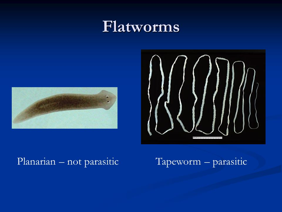 Flatworms Planarian – not parasitic Tapeworm – parasitic