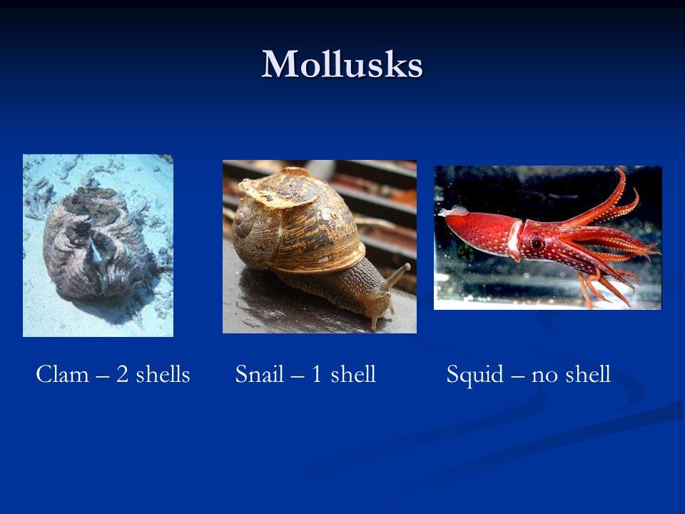 Mollusks Clam – 2 shells Snail – 1 shell Squid – no shell