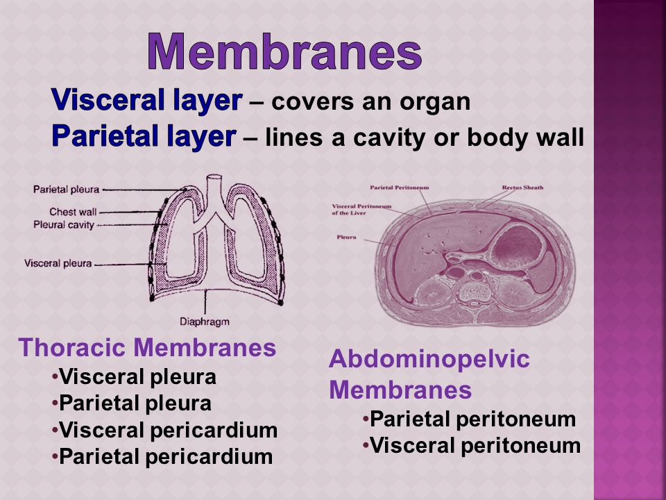 Membranes Visceral layer – covers an organ
