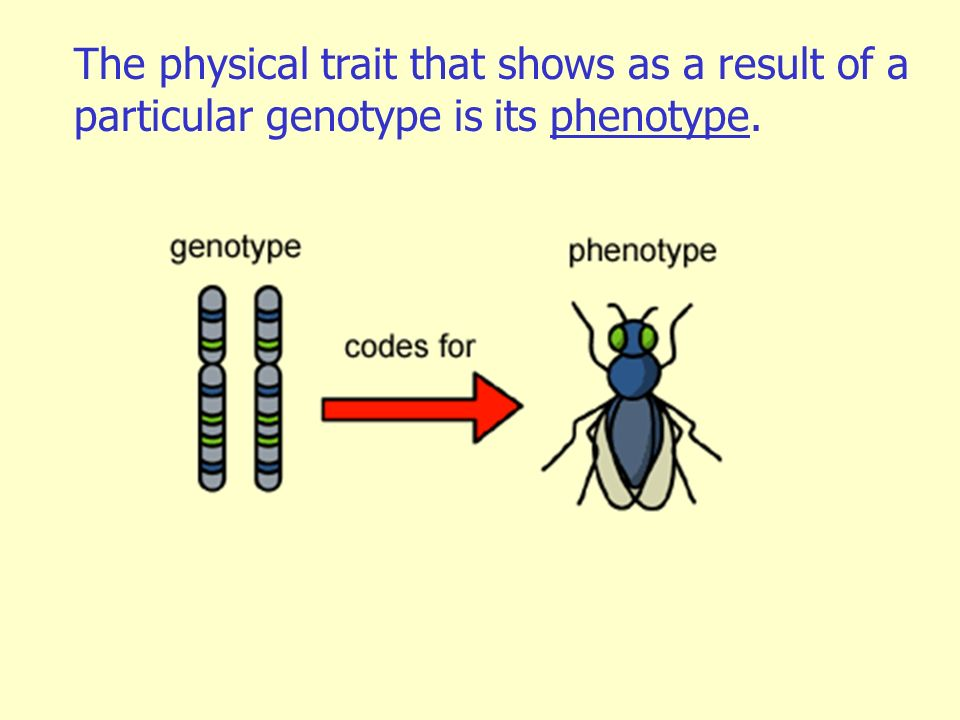 The physical trait that shows as a result of a particular genotype is its phenotype.