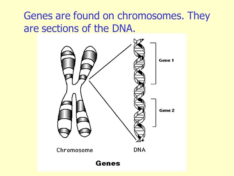Genes are found on chromosomes. They are sections of the DNA.
