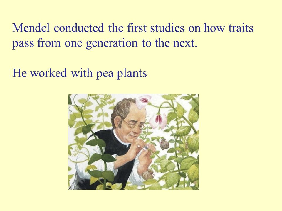 Mendel conducted the first studies on how traits pass from one generation to the next.