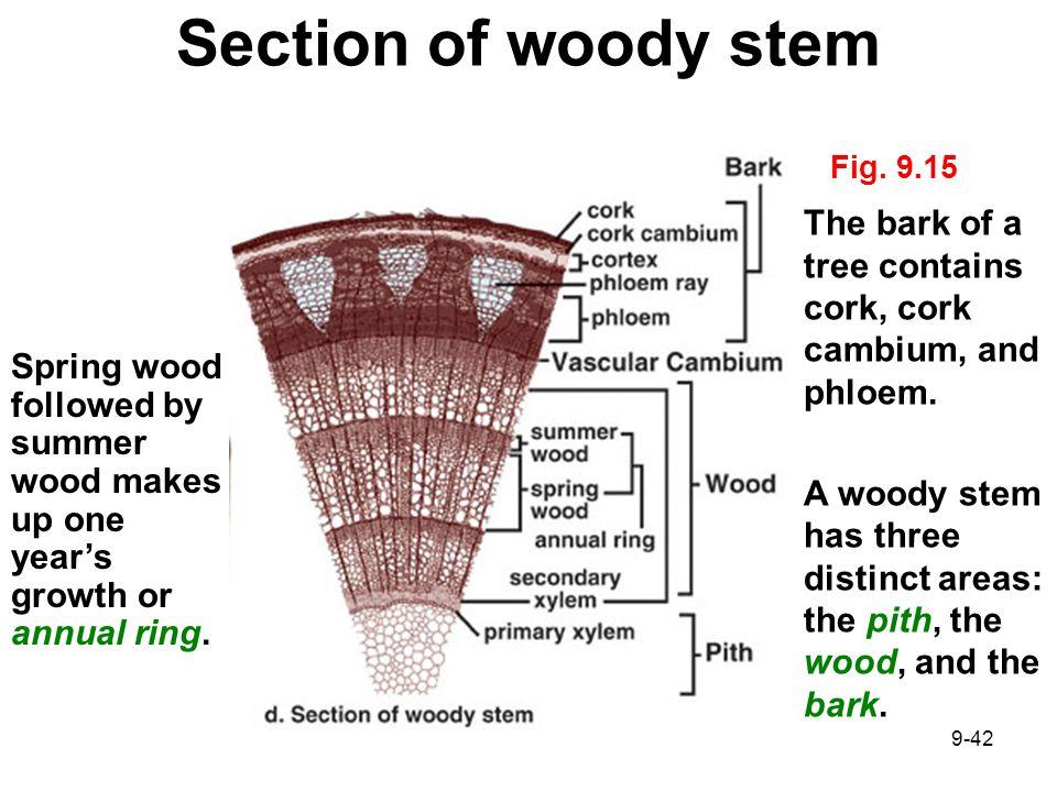 cork cambium Plant shoot  system  external morphology: internal anatomy: shoot apical meristem primary stem tissues dermal tissue.