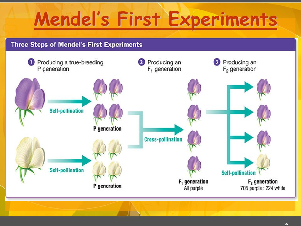 Mendel's First Experiments