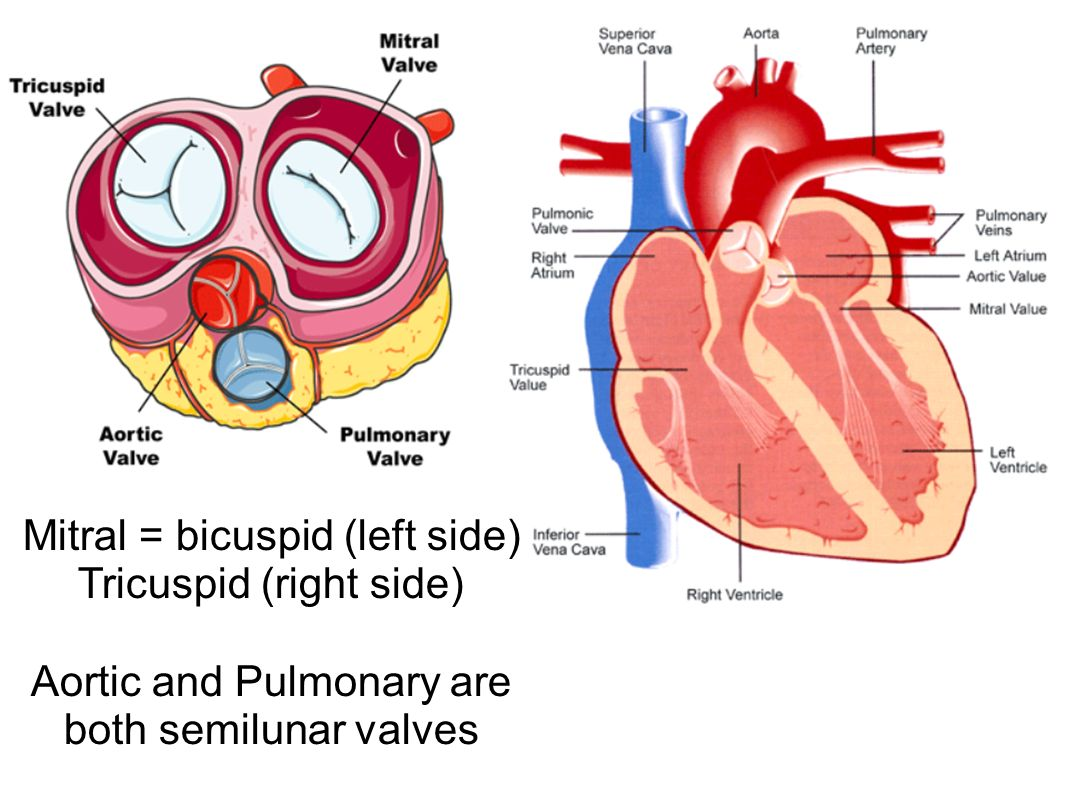 Mitral = bicuspid (left side) Tricuspid (right side)