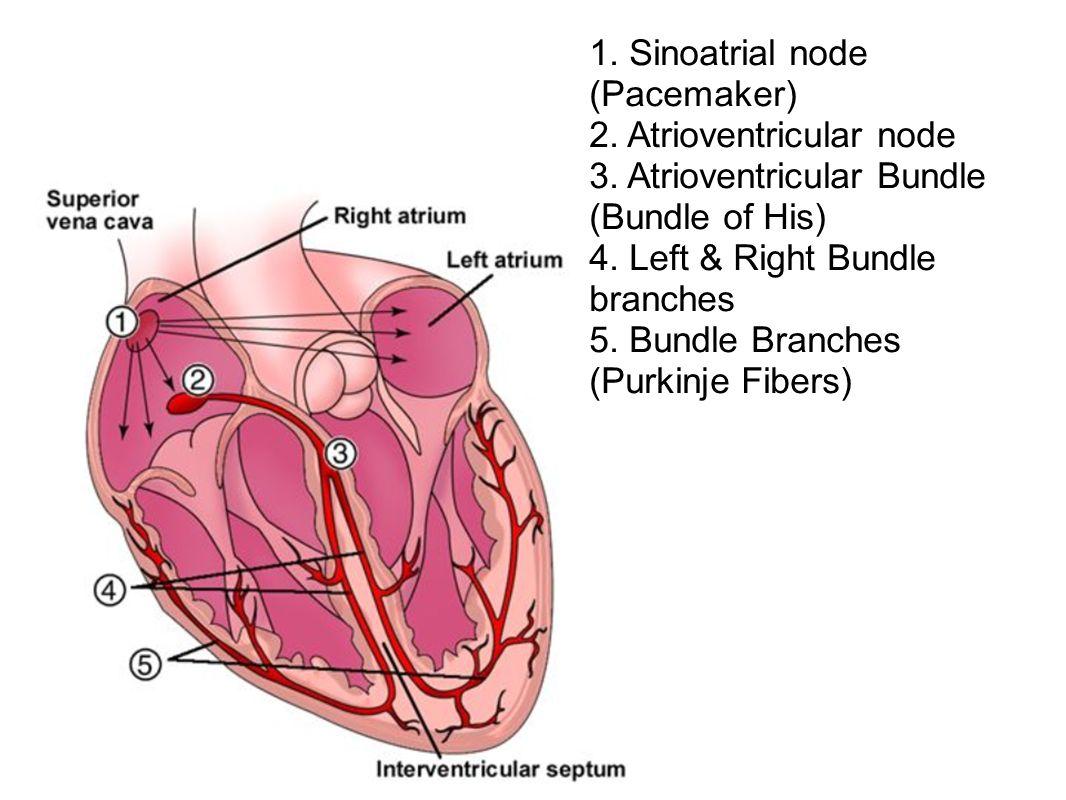 1. Sinoatrial node (Pacemaker) 2. Atrioventricular node 3
