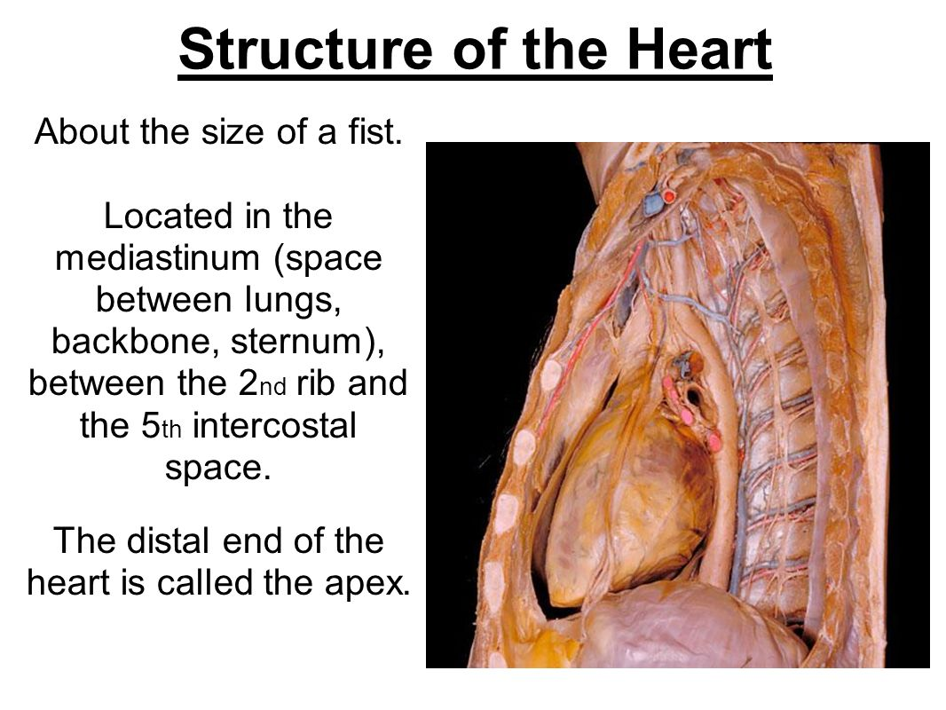 The distal end of the heart is called the apex.