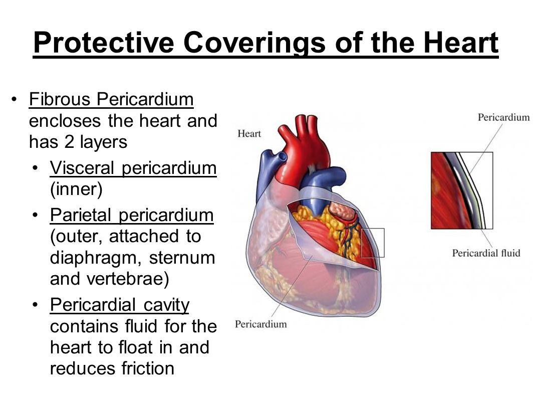Protective Coverings of the Heart
