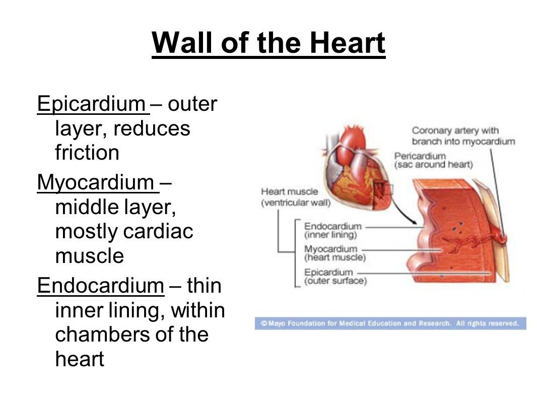 Wall of the Heart Epicardium – outer layer, reduces friction