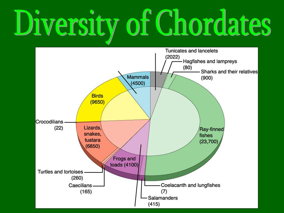 Diversity of Chordates