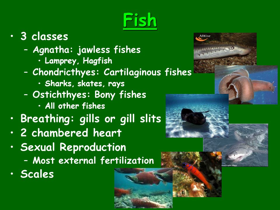 Fish 3 classes Breathing: gills or gill slits 2 chambered heart