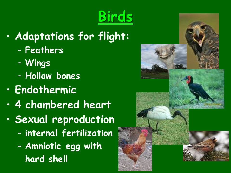 Birds Adaptations for flight: Endothermic 4 chambered heart