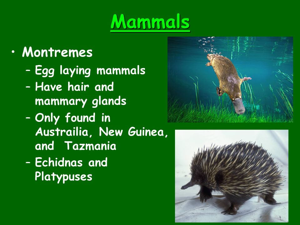 Mammals Montremes Egg laying mammals Have hair and mammary glands