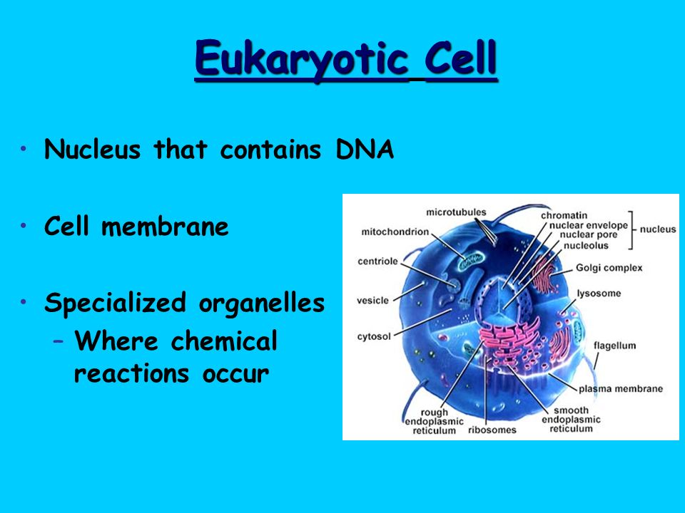 Eukaryotic Cell Nucleus that contains DNA Cell membrane
