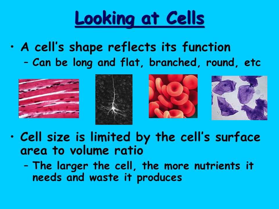 Looking at Cells A cell's shape reflects its function