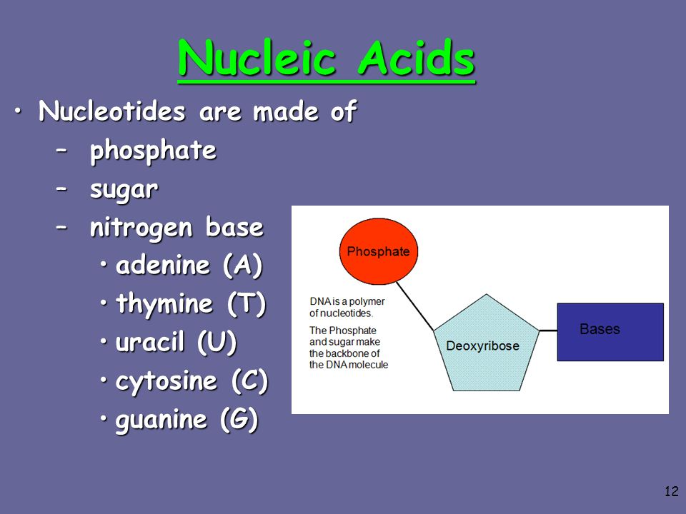 Nucleic Acids Nucleotides are made of phosphate sugar nitrogen base