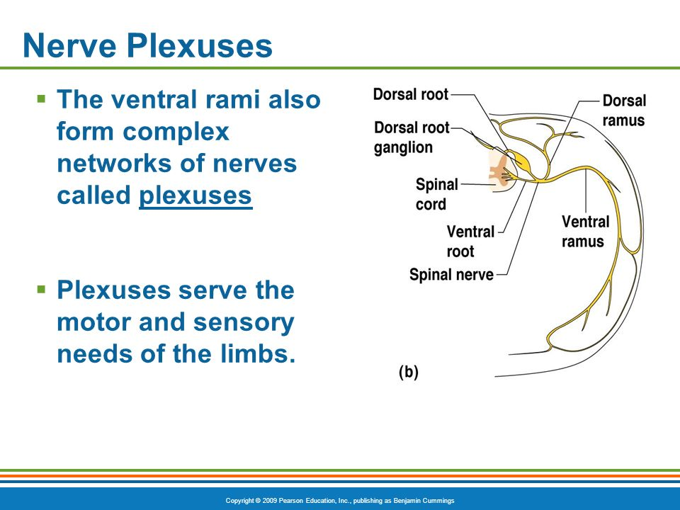 Nerve Plexuses The ventral rami also form complex networks of nerves called plexuses.