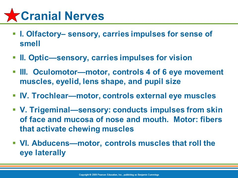 Cranial Nerves I. Olfactory– sensory, carries impulses for sense of smell. II. Optic—sensory, carries impulses for vision.