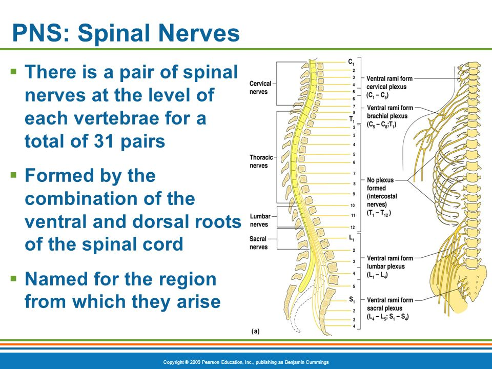 PNS: Spinal Nerves There is a pair of spinal nerves at the level of each vertebrae for a total of 31 pairs.