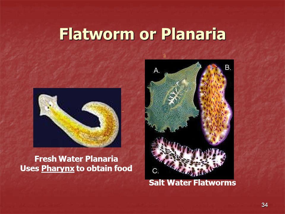 Uses Pharynx to obtain food