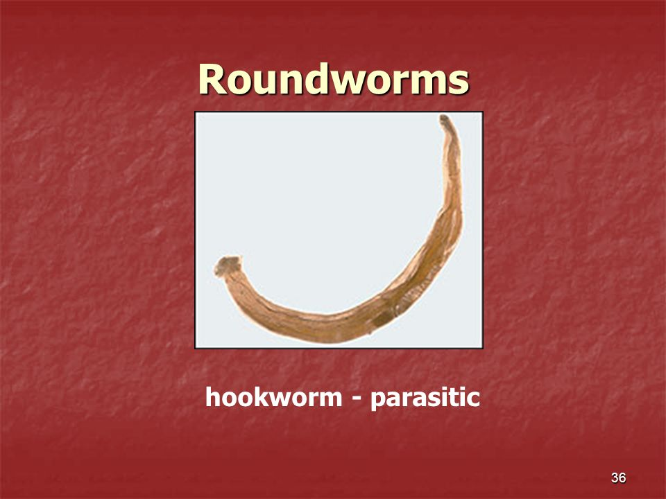 Roundworms hookworm - parasitic