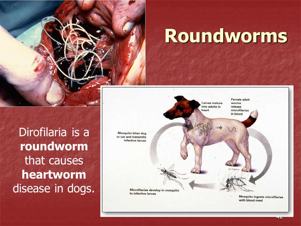 Dirofilaria is a roundworm that causes heartworm disease in dogs.