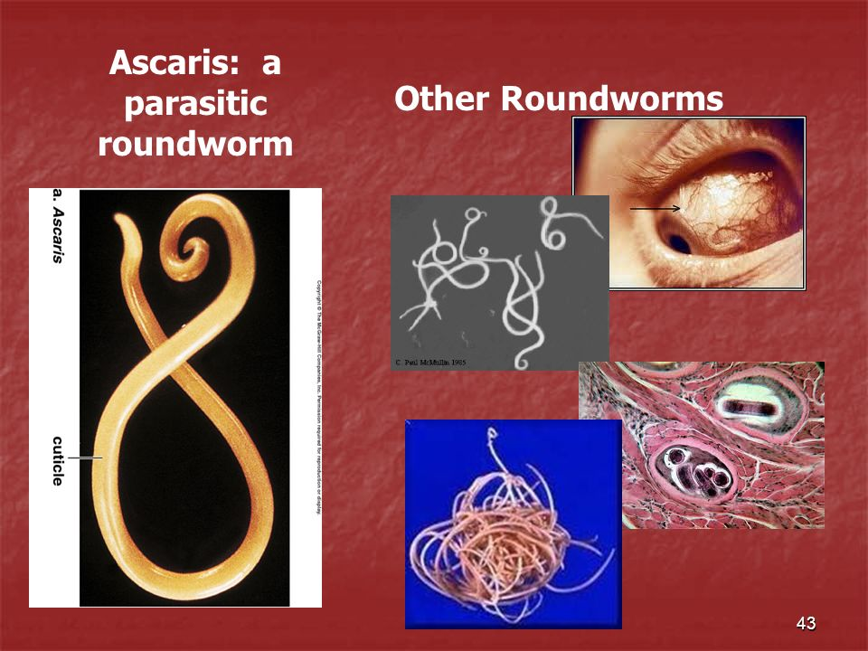 Ascaris: a parasitic roundworm